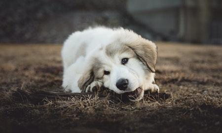 Golden Retriever Pup Kauwt op bot