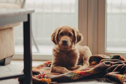De beste hondenbench kopen voor de Golden Retriever