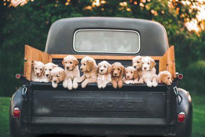 Hond Auto