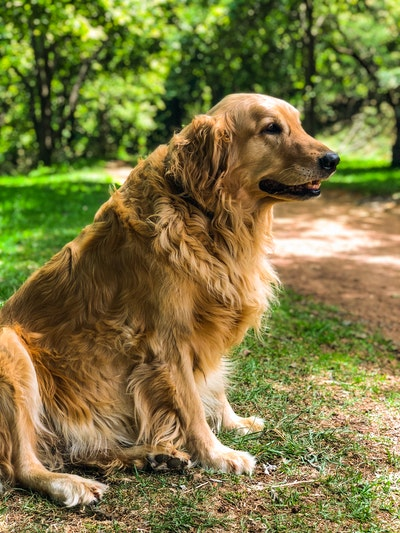 senior golden retriever in bos