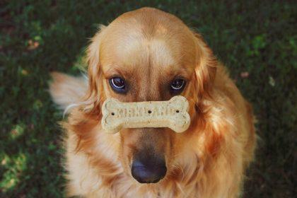 golden-retriever-hondenkoekje