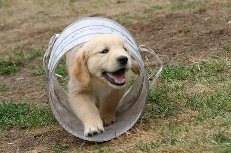 golden retriever spelen tunnel