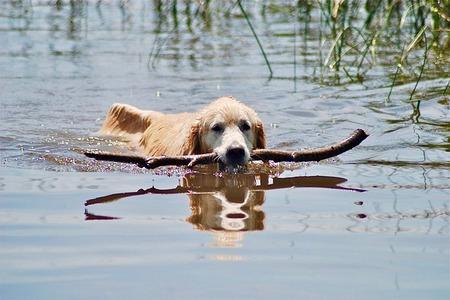 golden retriever zwemmen stok